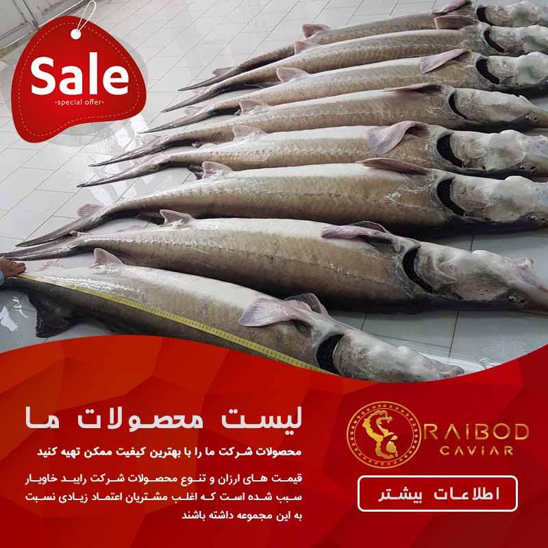قیمت فیل ماهی زنده