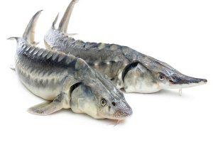 خرید ماهی خاویار