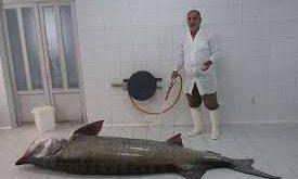 خرید فیل ماهی زنده ۲۰ کیلویی