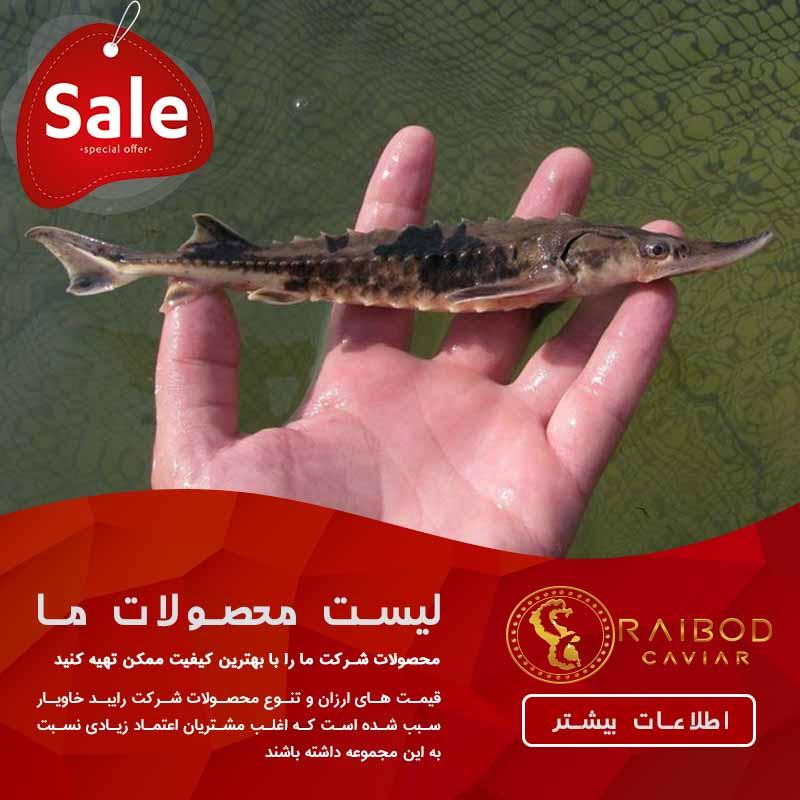 فروش بچه ماهی فیل ماهی